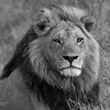 African Lion, b&w, Savuti, Chobe NP, Botswana, May 2017-16