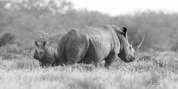 White Rhino, b&w, Phinda, KZN, SA, Oct 2016-3