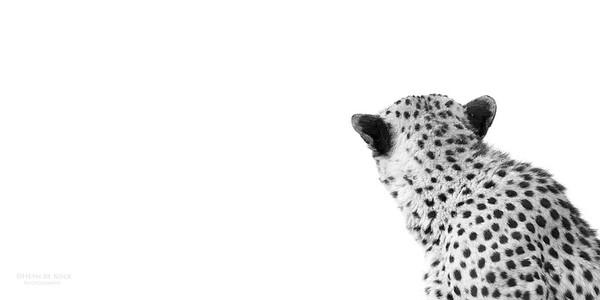 Cheetah, bw, Phinda, KZN, SA, Oct 2016-6