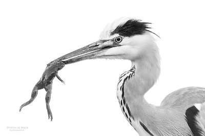 Grey Heron & African Clawed Frog, b&w, Zimanga, South Africa, May 2017-3
