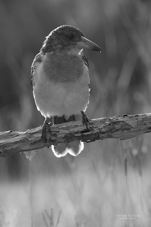 Pied Butcherbird, juv, Worongary, QLD, March 2016 b&w