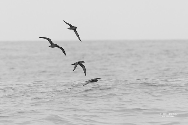 Short-tailed Shearwater, b&w, Southport Pelagic, November 2016
