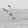 Short-tailed Shearwater, b&w, Southport Pelagic, November 2016