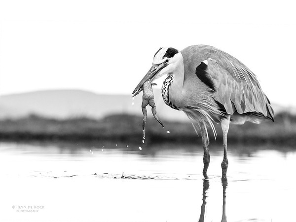 Grey Heron & African Clawed Frog, b&w, Zimanga, South Africa, May 2017-1