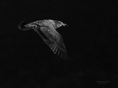 Pacific Gull, juv, Eaglehawk Neck Pelagic, TAS, May 2016-1