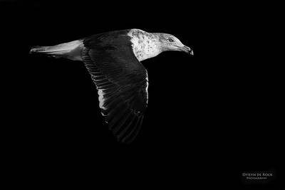 Kelp Gull, Eaglehawk Neck Pelagic, TAS, May 2016-1