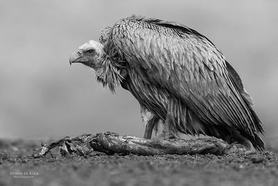 White-backed Vulture, b&w, Zimanga, South Africa, May 2017-5