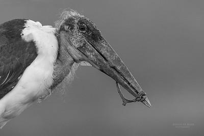Marabou Stork, b&w, Zimanga, South Africa, May 2017-1