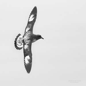Cape Petrel, b&w, Eaglehawk Neck Pelagic, TAS, Sept 2016-4