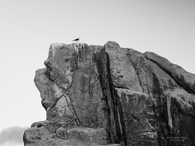 Kelp Gull, b&w, Eaglehawk Neck Pelagic, TAS, Sept 2016-1