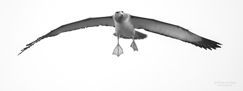 Salvin's Albatross, b&w, Eaglehawk Neck Pelagic, TAS, Sept 2016-1