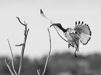 African Sacred Ibis, b&w, Intaka Island, Cape Town, Sept 2016-9