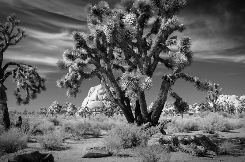 Spectacular Joshua Tree