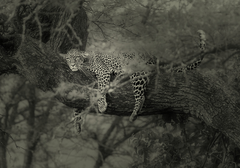 Leopard, female
