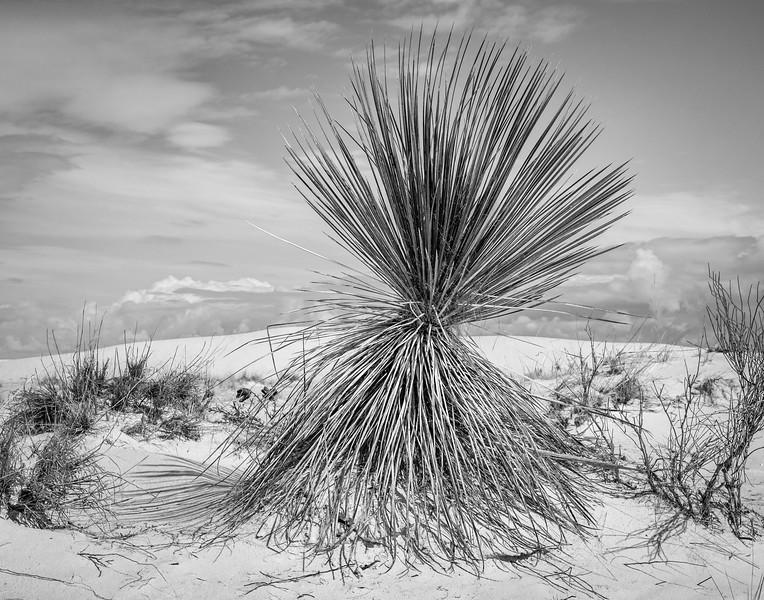 Yucca landscape in White Sands National Park