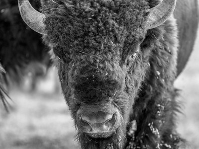 Buffalo, Yellowstone National Park, Wyoming, USA