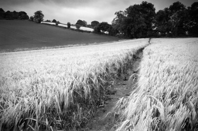 Path in the cornfield