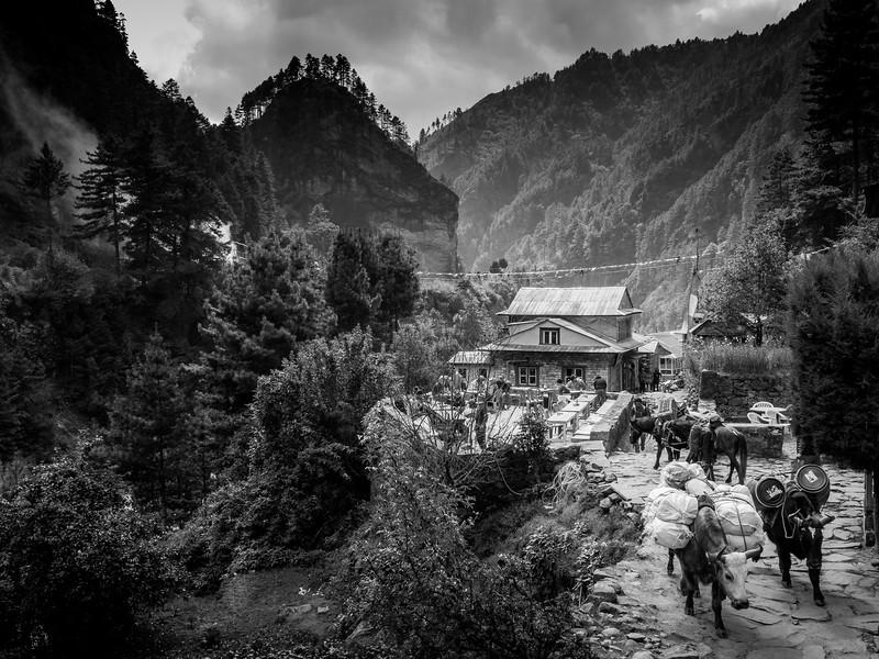 Sherpa Village and Yaks