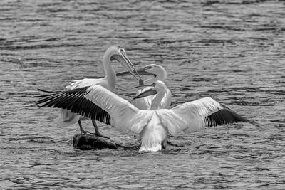 """""""It was this big""""  Pelicans on the Madison  JF2017"""