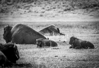 Baby Buffalo, Yellowstone National Park, Wyoming, USA