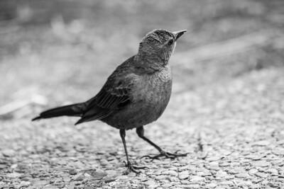 Female Brewer's Blackbird (Euphagus cyanocephalus). Yosemite Village - Yosemite National Park