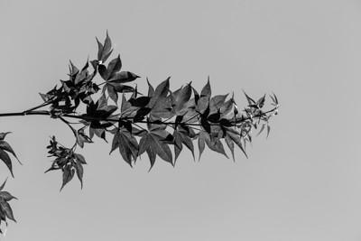 Black and White. Maple Tree. Pleasanton, CA, USA