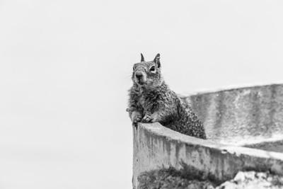 Squirrel. Lake Elizabeth/Fremont Central Park - Fremont, CA, USA