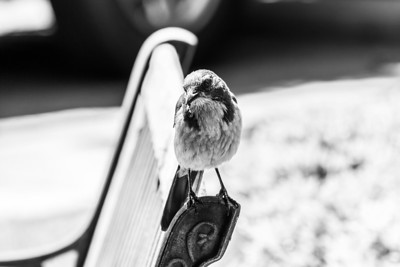 Black and White. Western Scrub Jay (Aphelocoma californica). Pleasanton, CA, USA
