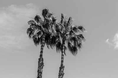 Black and White. Palm Trees. Pleasanton, CA, USA