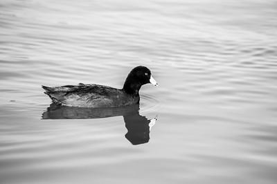 American Coot (Fulica americana). Lake Elizabeth/Fremont Central Park - Fremont, CA, USA