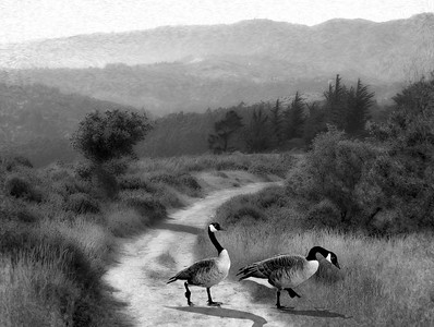 Geese Wandering the Alta Trail