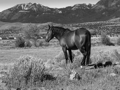 Mustang Along the Meadow