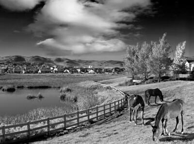 Mustangs Along the Damonte Marsh