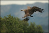 ( Eurasian ) Griffon Vulture - ( Gyps fulvus )<br /> <br /> Extremadura - Spain<br /> <br /> Giuseppe Varano - Nature and Wildlife Images - Birds and Nature Photography
