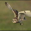 Gufo di palude - Short Eared Owl ( Asio flammeus )<br /> <br /> Giuseppe Varano - Nature and Wildlife Images - Birds and Nature Photography