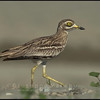 Occhione - Stone Curlew  ( Burhinus oedicnemus )<br /> <br /> Giuseppe Varano - Nature and Wildlife Images - Birds and Nature Photography