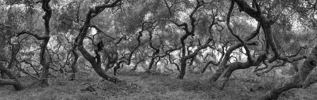 OAK TREES DANCING