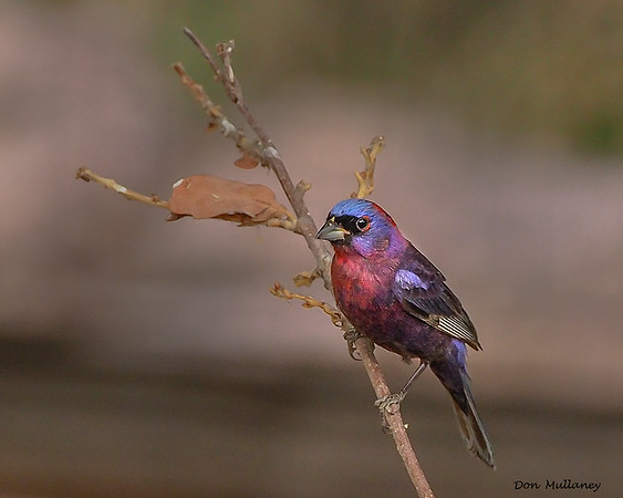 Monsoon  Birds of Arizona