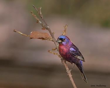 Monsoon  Birds of Arizona