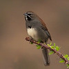 Five-striped Sparrow  on Ocotillo