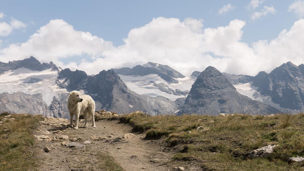 Perro pastor trabajando en los Alpes