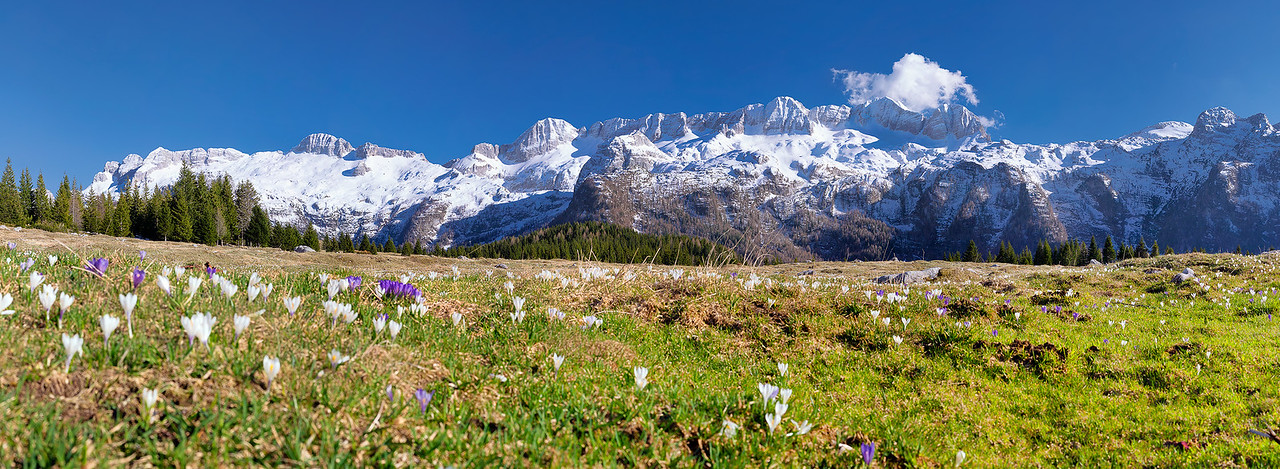 Gruppo del Canin visto dall'altopiano del Montasio fiorito con i crocchi  - foto n° 200415-483050