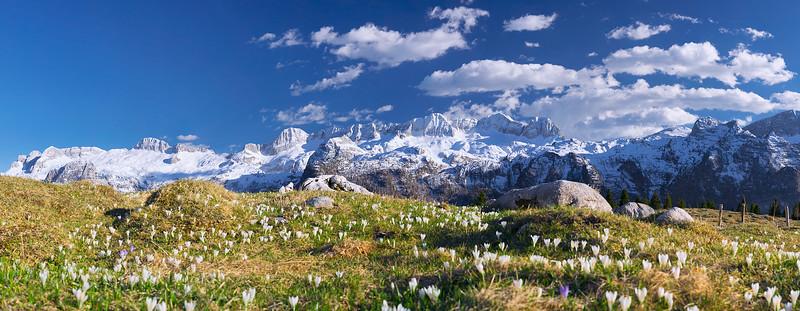 Gruppo del Canin visto dall'altopiano del Montasio fiorito con i crocchi  - foto n° 210415-305592