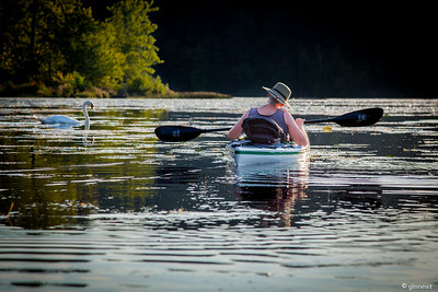 Kayaking with a Swan, Conneticut River, Turners Falls, MA