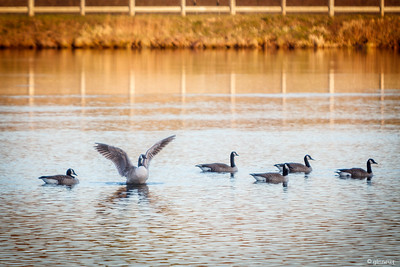 Geese on the Cannal, Turners Falls, MA