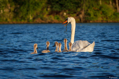Swan with Cygnets, Connecticut River, Turners Falls, MA
