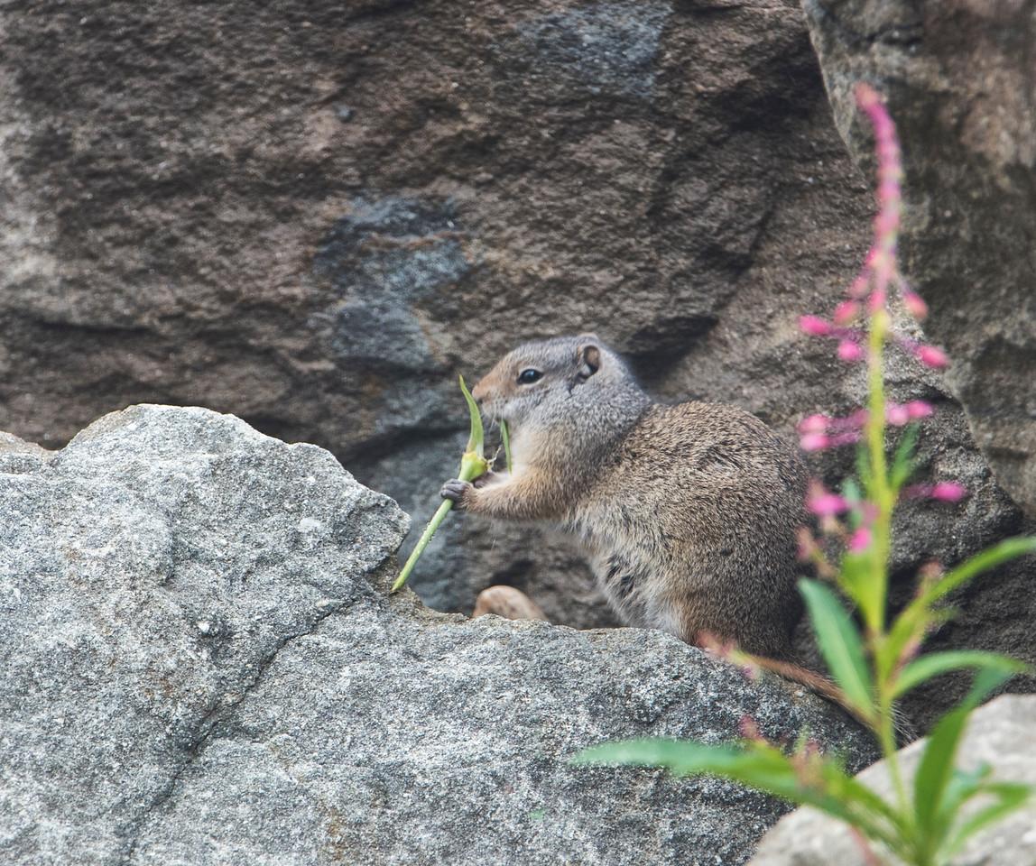 Hyrax eating a sprig