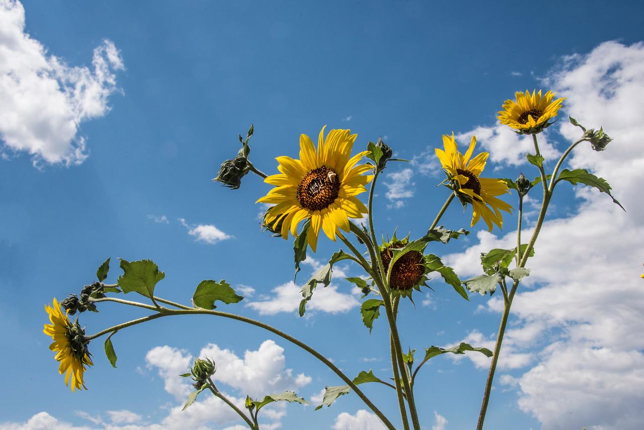 Sunflower w bee