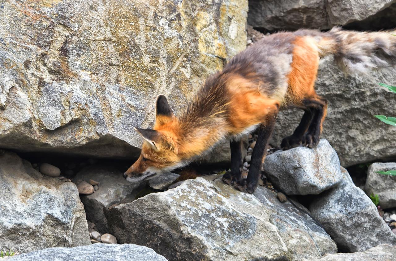 Fox hunting a hyrax