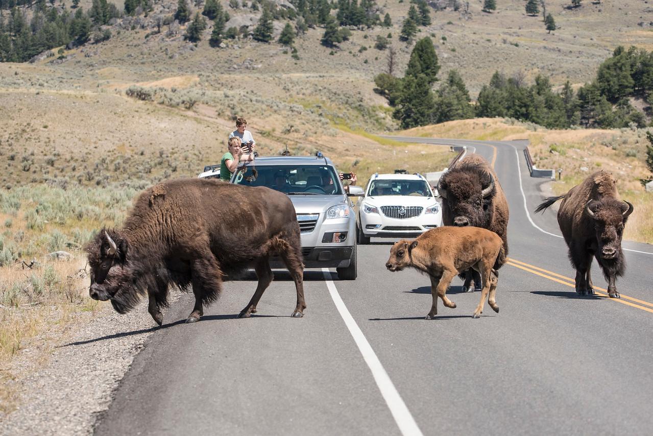 Bison blocking road